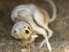 mumifizierte Ratte